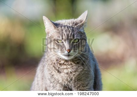 Portrait Of Grey Haired Cat With Green Eyes. Close Up Of Snout, Front View. Shot Outdoors With Very