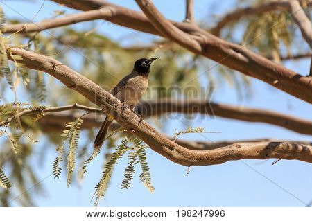 White-spectacled bulbul on a acacia tree branch