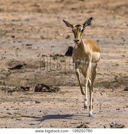 Common impala in Kruger national park, South Africa ; Specie Aepyceros melampus family of Bovidae