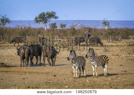 Plains zebra and african buffalo in Kruger national park, South Africa ; Specie Equus quagga burchellii family of Equidae