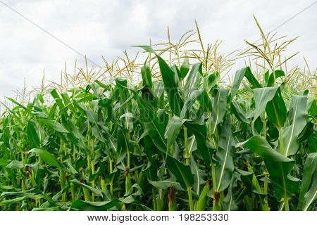 close up of organic green corn field - countryside agriculture