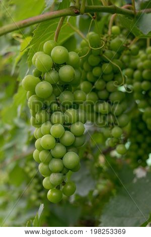 hanging unripe unpicked green grapes - organic agriculture