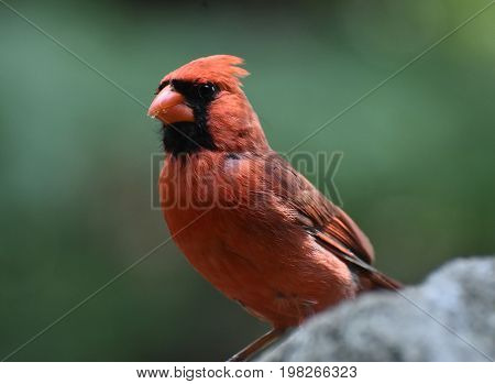 Large northern cardinal bird standing perched on a rock.
