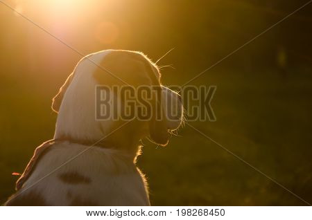 Blurred silhouette of a beagle puppy in the golden rays of sun light at the sunset (selective focus on the puppy nose)