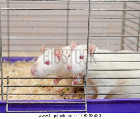 A couple of curious white laboratory rats looking out of a cage