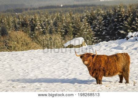 A scottish highland cow in winter sanding in the snow in a scottish scenery