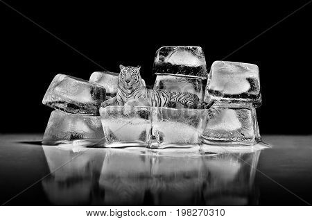 White bengal tiger lying on ice on a black background