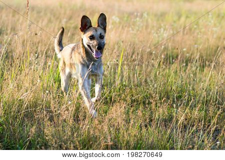 Dog mongrel runs across the field on a sunny day
