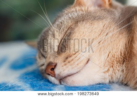 Young Abyssinian Cat Sleeping On A Blue Plaid Closeup
