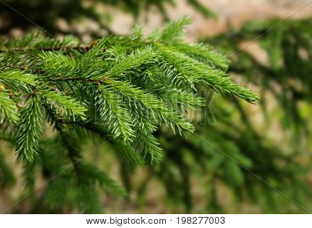 Fresh green spruce tree branches natural close-up