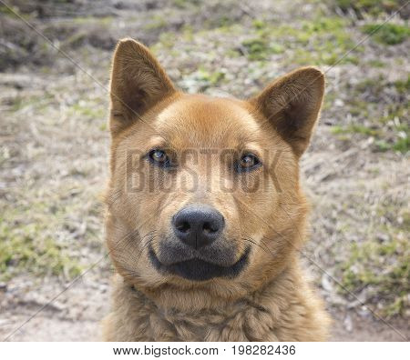 Beautiful happy brown dog smiling in the field Looks like bear look in the camera