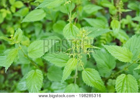 Stinging green nettle,herbal medicine, organic and healthy