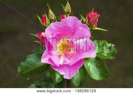 Flower pink rose Andersen petals soft sweet tones of sweet style.