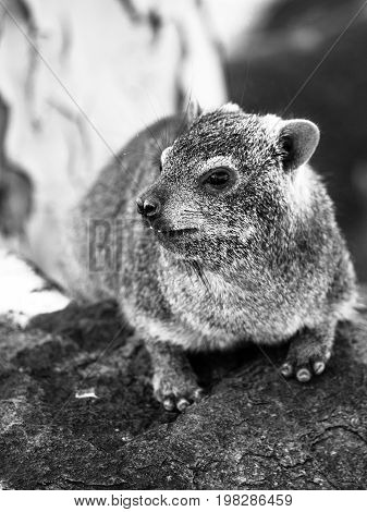 Rock hyrax, Procavia capensis or dassie, sitting on the stone. Black and white image.