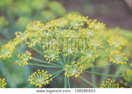 Fennel Blossoms. Fennel Flowers. Fennel Seeds.