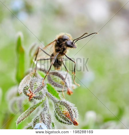 Male ant with wings ready for nuptial flight