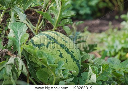 Watermelon On A Bed. Watermelon Grows In A Garden.