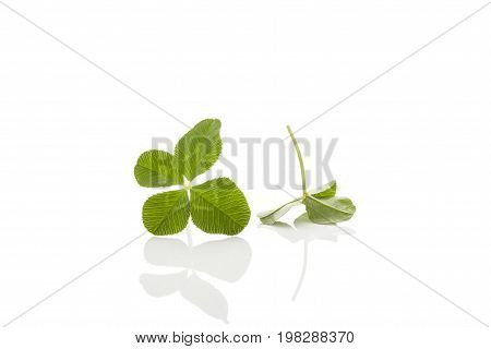 Green four-leaf clover leaf isolated on white background. Four-leaf clover. Luck lucky fate concept.