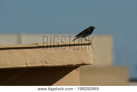Starling ready to fly. Technical stop on a roof