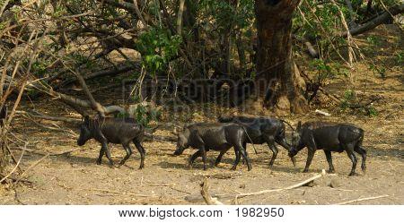 Herd Of Wart-Hogs