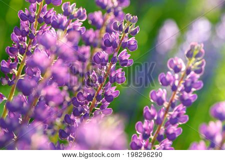 Lupinus, lupin, lupine field with pink purple and blue flowers. Bunch of lupines summer flower background