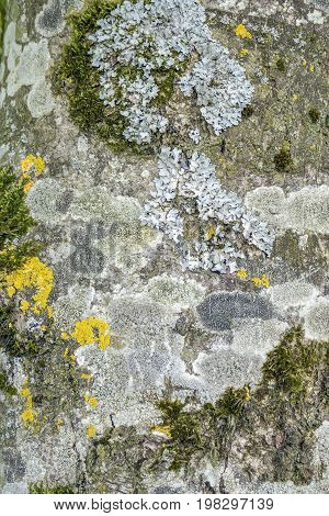 full frame abstract background showing some moss lichen on tree bark