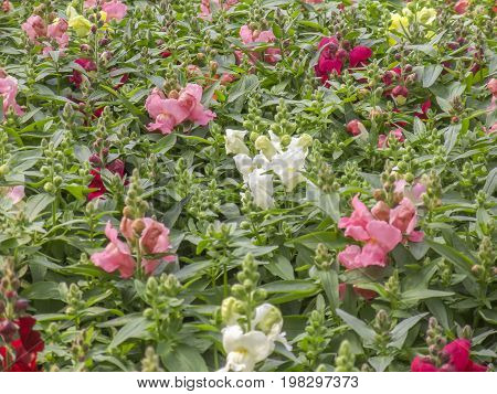 closeup shot showing lots of various snapdragon flowers in green leaves ambiance