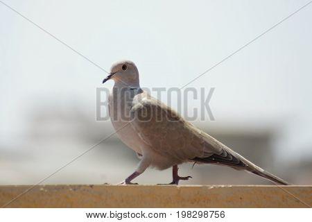A turtledove walking on the shelf of a terrace