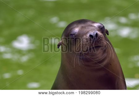 Sea Lion portrait in nature, close up