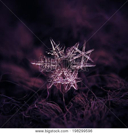 Macro photo of real snowflakes: cluster of three stellar dendrite snow crystals with long, sharp and thin arms, glittering on dark purple textured background in natural light.