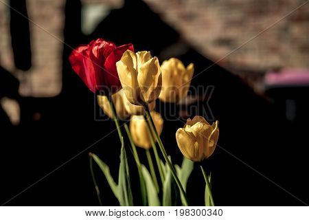 Colorful Cluster Of Red And Yellow Spring Tulips