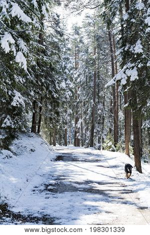Dog Walking Along A Snowy Forest Road