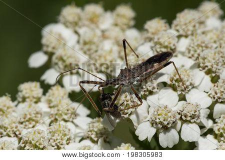 A Four-spurred Assassin Bug preys on a fly on yarrow flowers.