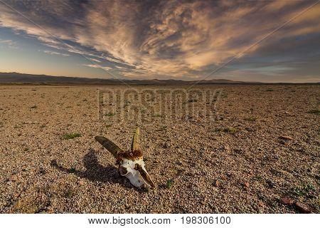 Skull of roe deer on stony ground in the desert. Namibia, Africa