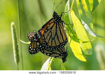 A pair of mating Monarch Butterflies hanging from a leaf.