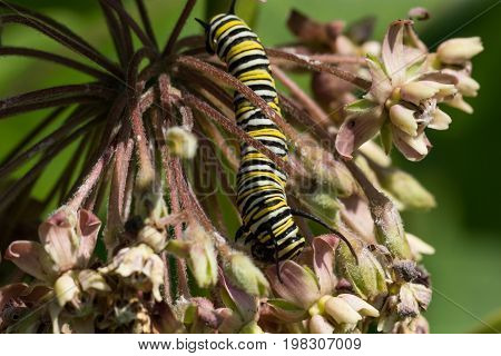 A Monarch Caterpillar instar eating from a milkweed plant.