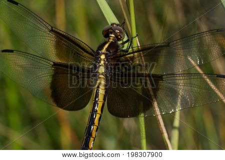 A Widow Skimmer dragonfly perched on some grass.