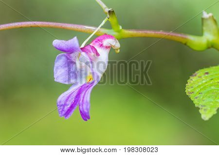 Impatiens psittacina known variously as the