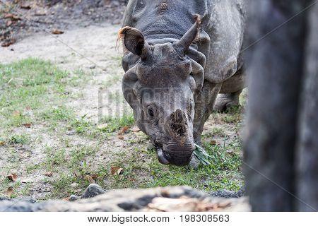 Big endangered indian rhinoceros (one horned rhinoceros)