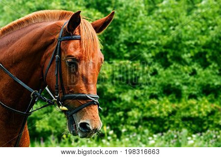 Portrait of a red horse on a green background with copyspace. The head of an animal in profile. A young mare of an Arab-Trakehner crossbreed in a bridle