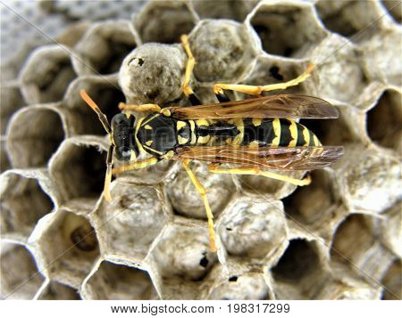 Detail of wasp nest with one isolated wasp