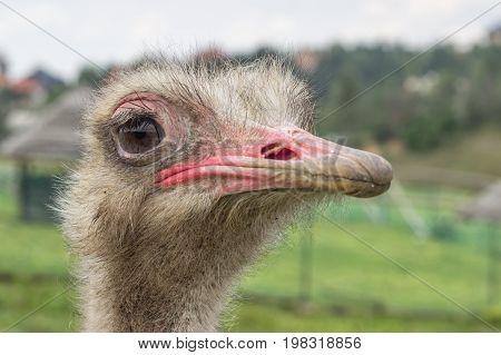 Close Up Ostrich Head 2