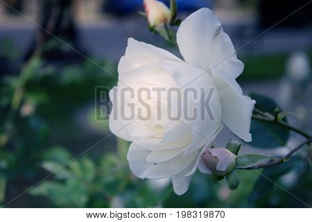 White roses in the garden. Delicate Rosebuds. Bright orange roses. Caring for garden roses. Rose Bush