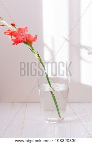 Beautiful flowers in glass vase closeup. single pink gladiolus in a glass vase with water isolated on white background with shadows