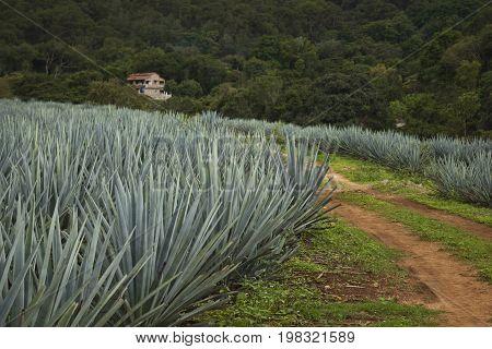 A Blue Agave farm in Jalisco Mexico.