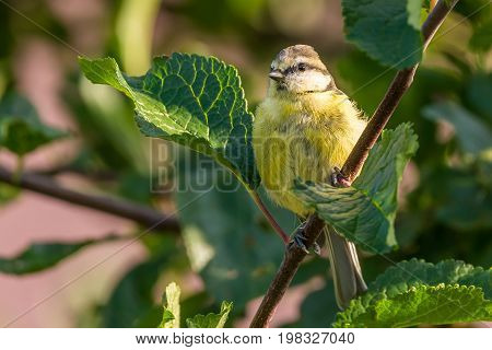 Baby Blue Tit Is Perched On The Branch Of Plum-tree