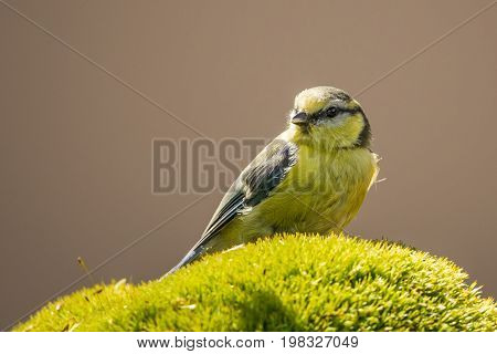 Baby Blue Tit Perched On Green Moss
