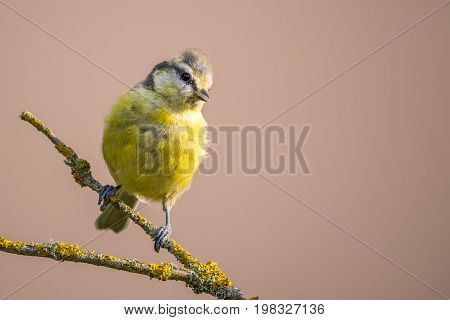 Child Blue Tit With Yellow Chest On Dry Branch With Color Lichen