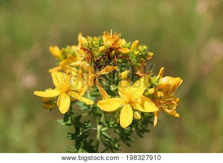St John's-wort or common Saint John's wort, Hypericum perforatum