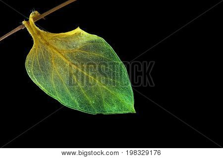 single green leaf hanging from a branch on black background